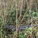 alligator sleep
